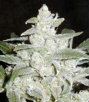 potent strain of cannabis marijuana.The infamous White Widow