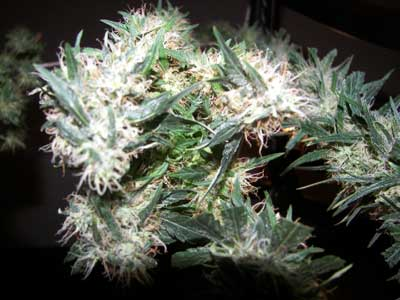 White Widow Colas